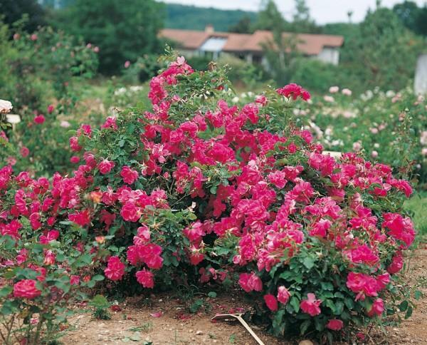 Plantes vertes fleuries am nagement de jardin jou l s for Fleurs et arbustes de jardin