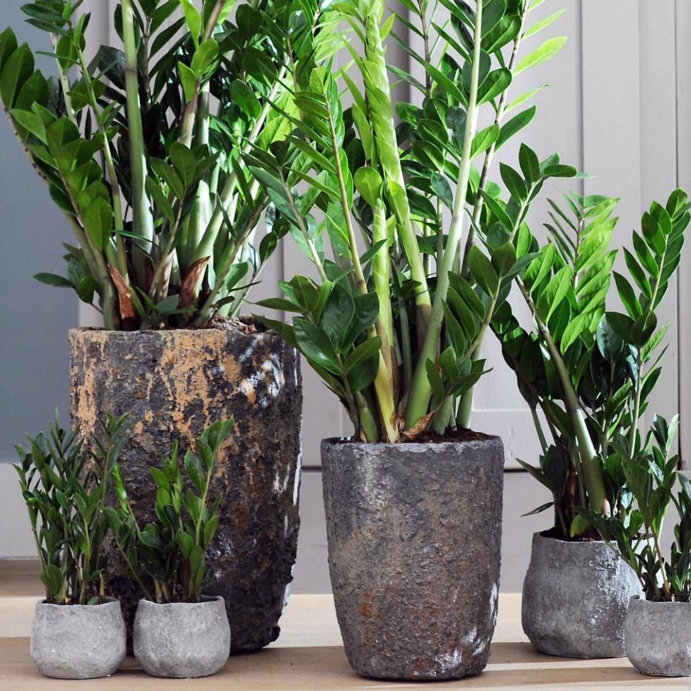 plante verte exotique top le blog des plantes exotiques rustiques with plante verte exotique. Black Bedroom Furniture Sets. Home Design Ideas